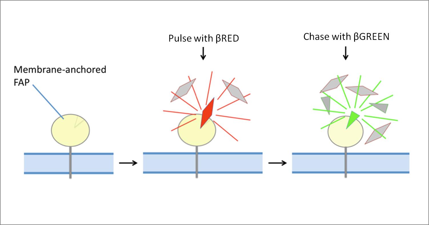 Fluorogen Exchange