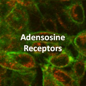 Adenosine Receptor Cell Lines