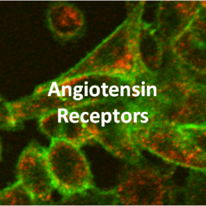 Angiotensin Receptor Cell Lines