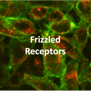 Frizzled Receptor Cell Lines