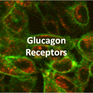 Glucagon Receptor Cell Lines