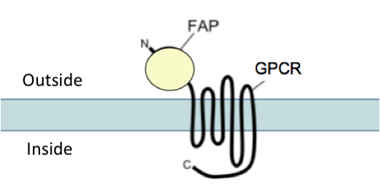 FAP-tagged GPCRs - Plasmids with GPCRs fused to either the alpha 2 or the beta 1 fluorogen activating peptide (FAP).