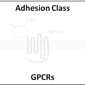 Adhesion Class GPCRs