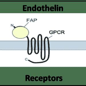 Endothelin Receptors