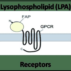 Lysophospholipid (LPA) Receptors